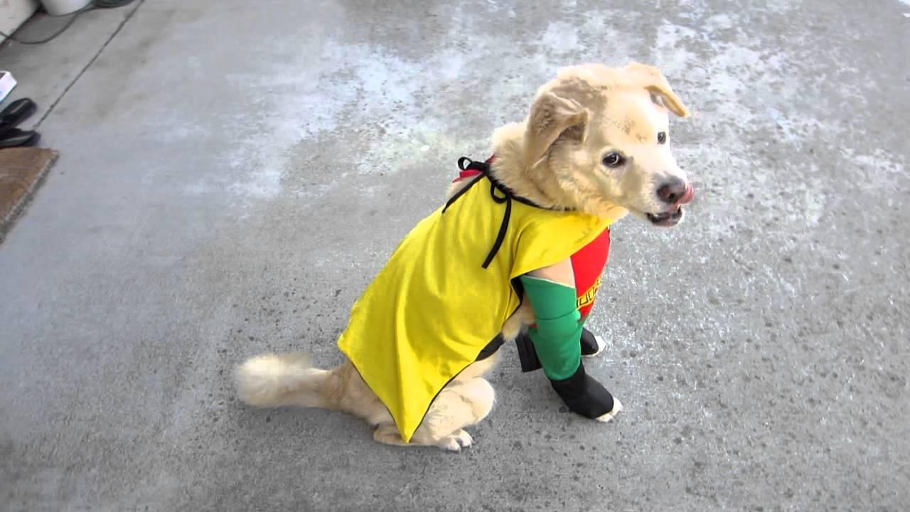 robin boy wonder pet dog halloween costume youtube