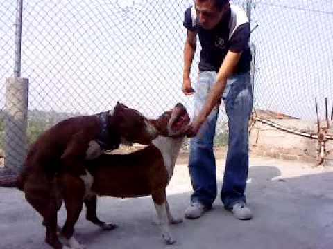 American pit bull aparemiento youtube - Imagenes de animales apareandose ...