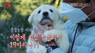 동물농장 비하인드컷 | 풍산개 강아지 19마리 건강검진 | 탑스동물메디컬센터 박순석 수의사