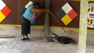 Florida: Gefährliches Spiel mit Alligator am Rand der Everglades. Dangerous play with an alligator