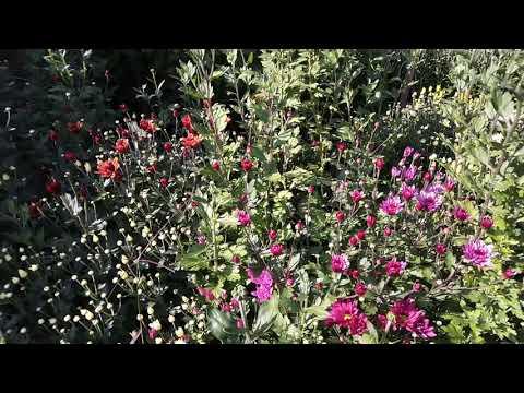 Цветущие Хризантемы сорт Бакарди