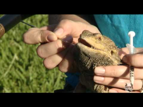 Bearded dragon dewormer