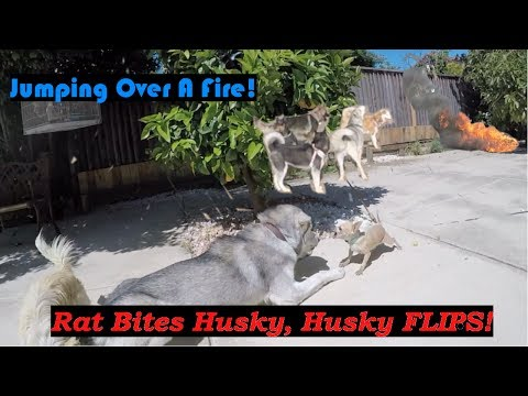 Rat Dog Bites Husky, Husky FLIPS! Siberian Husky Warns About Fire! Raw Egg Challenge