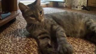 Шестипалая кошка