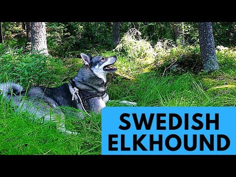 Swedish Elkhound - Jämthund - Dog Breed Profile