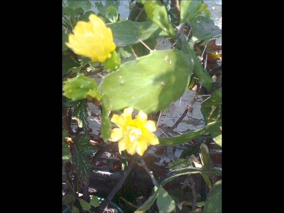 mi pelcula en video de cactus en flor y arboles floridos con pajaros