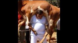 أقوى رجل في مصر حيدر أبو شديد يحمل عجل وزنه 380 كيلو !
