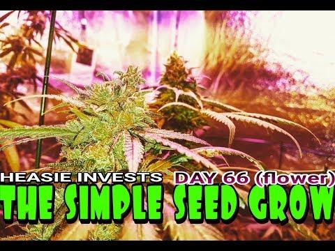 The Simple Seed Grow: Day 66 (flower) - Marijuana and anxiety