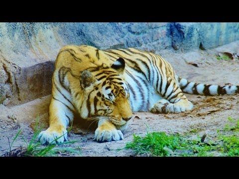 Maharajah Jungle Trek (Walk-Through) Disney World's Animal Kingdom