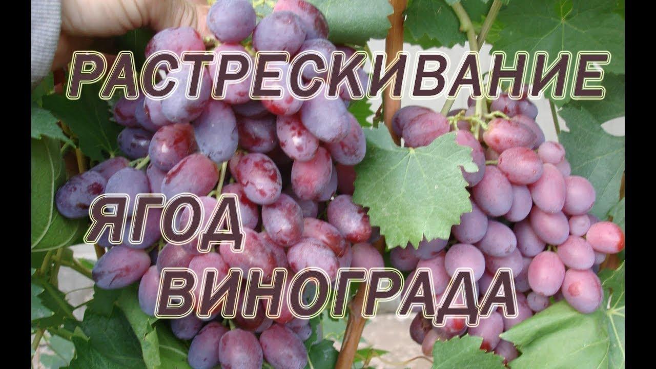 Почему трескается виноград