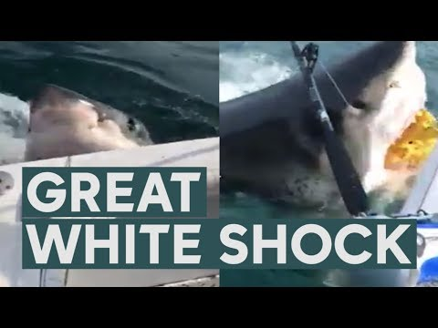 None - Great White Shark Channels Jaws in New Jersey