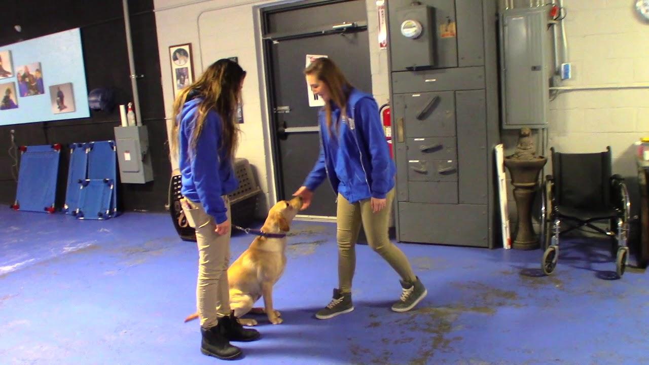Harley Board And Train At Michigan Dog Training Youtube