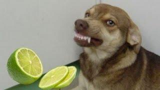 Cachorro rindo após cheirar limão