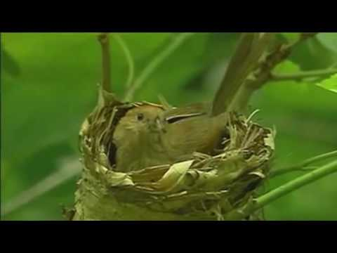 Brood parasitism of cuckoo