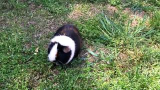 Guinea Pig Backyard