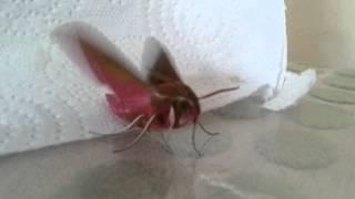 Elephant Hawk Moth's First Flight