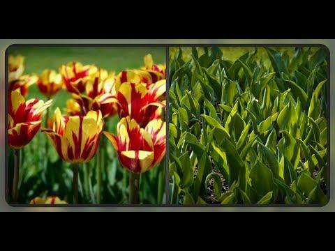 Почему не цветут тюльпаны?? Ошибки при выращивании, которые вы не должны совершать..