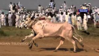 Repeat youtube video Dangerous Bull race in Pakistan: VIDEO