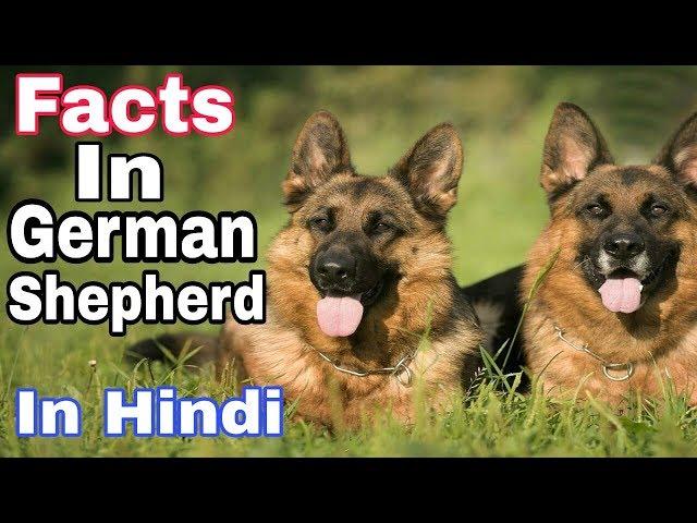 German shepherd Facts in hindi / Do you no / Aryan Dog Club  Aryandogclub