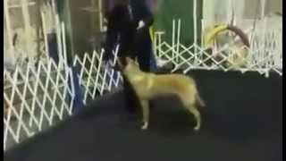 Conformation Dog Training