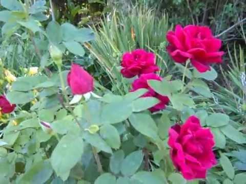 Perennial Garden La Habra CA