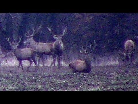 Нашествие рогатых оленей || The Accumulation Of Red Deer Males