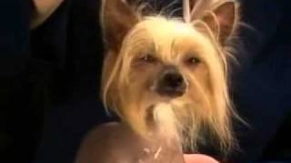 Chinese Crested Breed Standard [Part 2 of 5]