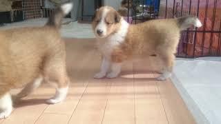 PAMの子犬達、コロコロになってきました。