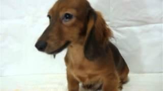 SWEET DOG HOUSEの子犬です 2012/5/8生まれ レッドの男の子 http://yapl...