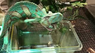 두꺼비를 잡아먹으려하는 카멜레온에게 귀뚜라미를 대접했습…
