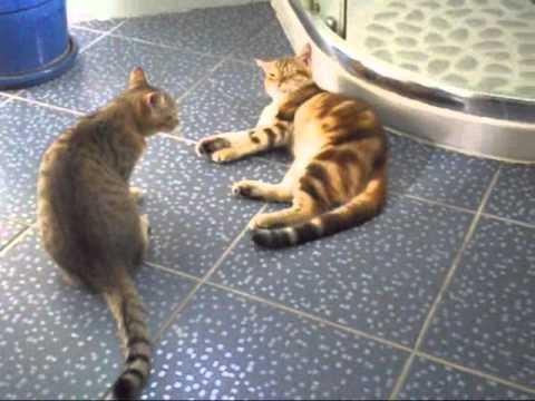 chats qui se batte (pour jouer)