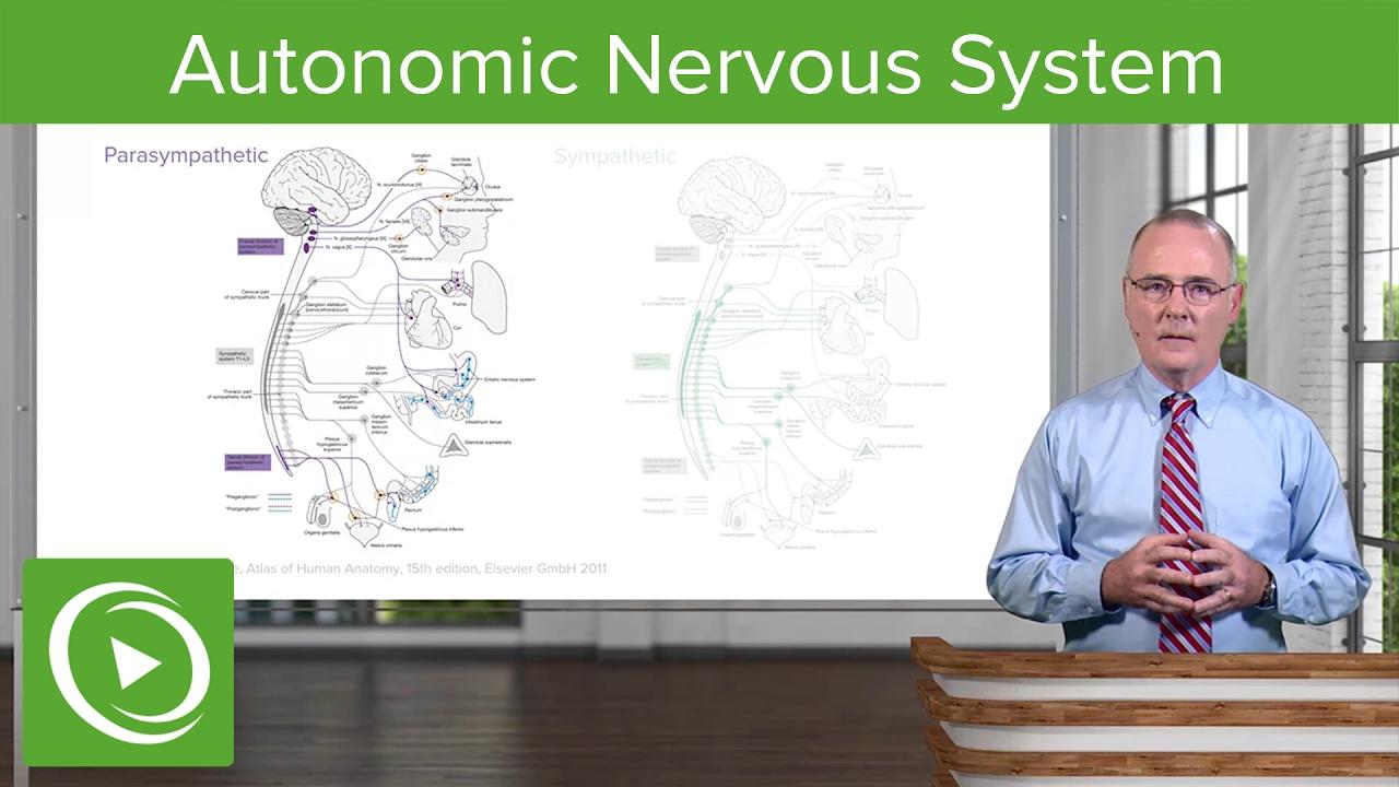 Autonomic Nervous System (ANS) – Brain & Nervous System | Lecturio