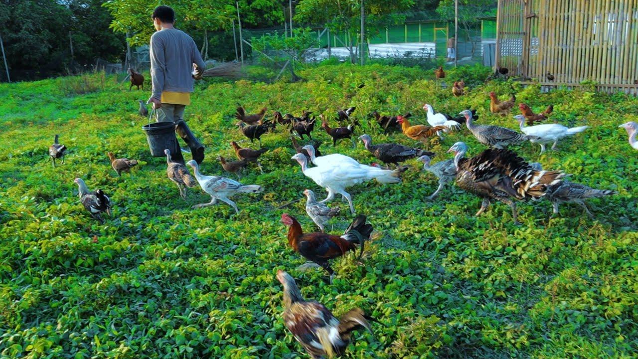 Free-range Farming (Ep.108)-Our future plans for the farm! Azolla production &  Digital incubator