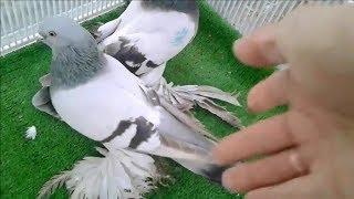 Сохранил СТАРАПОРОДНУЮ линию голубеи . Туркменский бойные голуби (  Бахтияр / Казахстан г.Атырау )