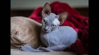 Породы кошек которые не линяют.