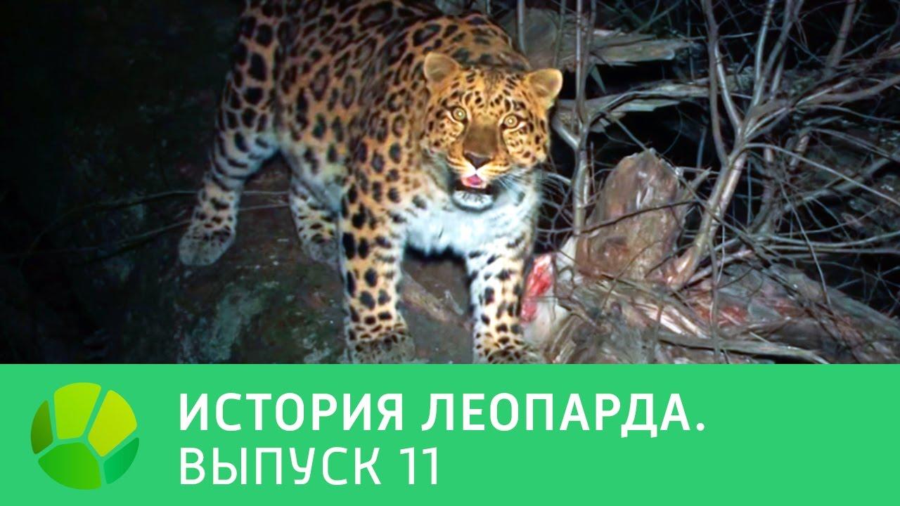 История леопарда. Выпуск 11 | Живая Планета