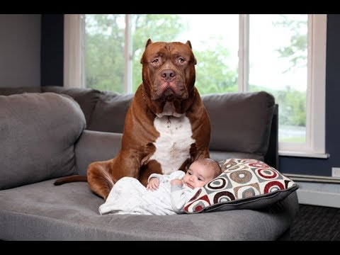 Dogue de Bordeaux - Cute Dogs, Kittys and Adorable Babies - Dog Protecting Baby Dog