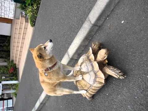 Schildkröten-Sex-Video