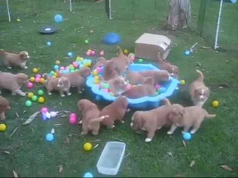 Tolleron Nova Scotia Duck Tolling Retriever 5 and 6 week old Toller puppies discovering the Ball Pit