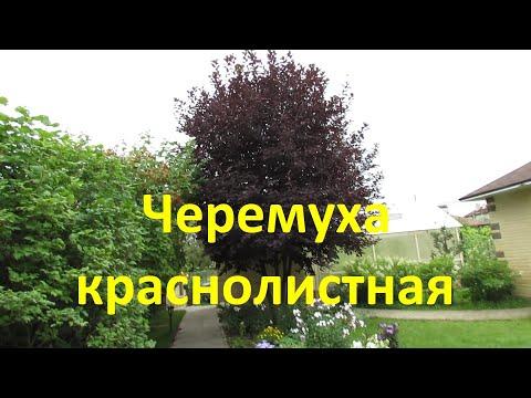 Вопрос: Почему , когда цветет черемуха, температура воздуха падает?