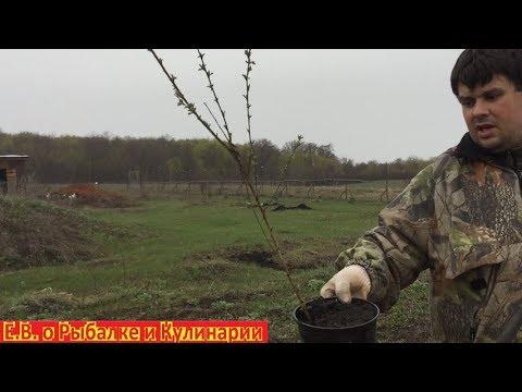 Как посадить войлочную вишню чтоб она прижилась,также покажу уже прижившееся саженцы этой вишни.