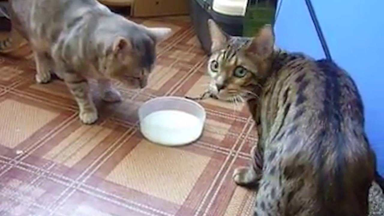 Image result for cat fighting over food meme