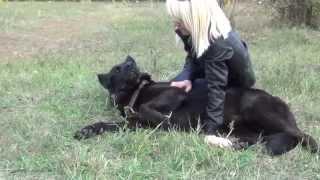Luxury Dog Harness For German Shepherd