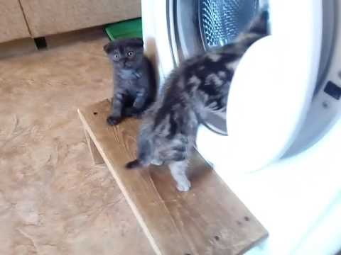 Шотландский котенок,  мраморный окрас
