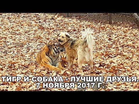 ТИГР И СОБАКА - ЛУЧШИЕ ДРУЗЬЯ.  7 НОЯБРЯ 2017 Г.