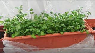 How to harvest cilantro/Coriander| Indoor Garden