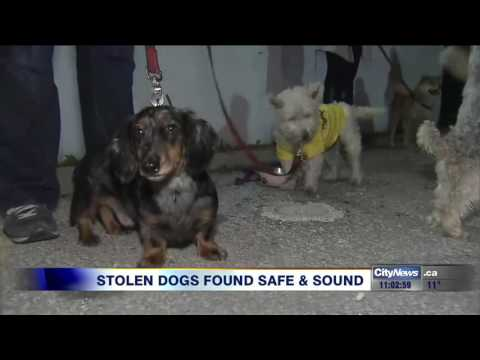 Video: Stolen dog walker's van found with 16 pooches safely inside