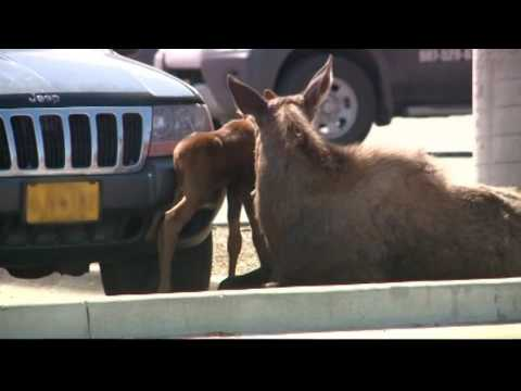 Moose Gives Birth in Lowe