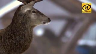В витебских лесах стали тщательнее заботиться о животных