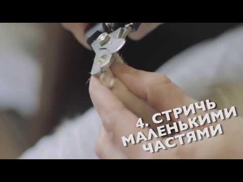 Как стричь когти чихуахуа в домашних условиях видео